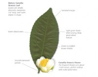 10464024-green-tea-leaf_diagram.jpg
