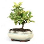 osmanthus-bonsai.jpg